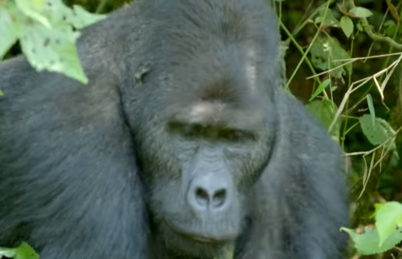 Giant Silverback Halts Traffic, Then They Follow Him And See Why
