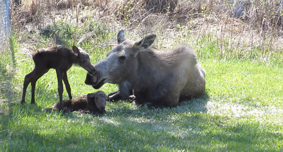 Woman Finds Mama Moose In Backyard, Doesn't Notice What Was Hiding In Plain View