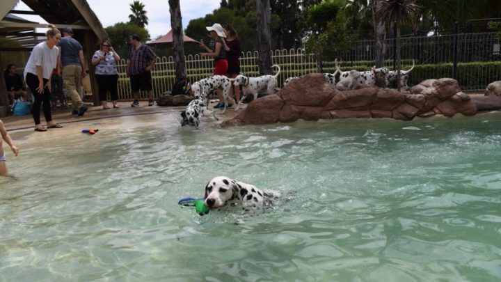 Vet Realizes HUGE Mistake When Dalmatian Finally Gives Birth
